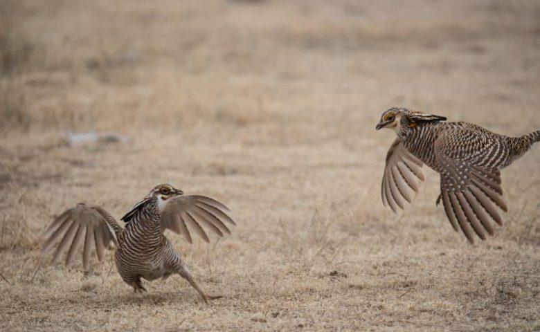 Nebraska-prarie-chickens-1261-800x500